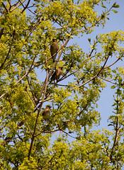 Cedar waxwings (Sarah Wesley Farm) Tags: bohemianwaxwings waxwings cedarwaxwing birds spring maples
