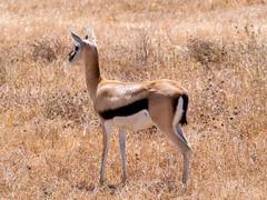 Thomson gazelle , Ngorongoro, Tanzania (Amdelsur) Tags: continentsetpays tanzanie caldeiradungorongoro afrique africa ngorongorocaldera tz tza tanzania régiondarusha