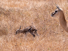 Thomson gazelle and a new born, Ngorongoro, Tanzania (Amdelsur) Tags: continentsetpays tanzanie caldeiradungorongoro afrique africa ngorongorocaldera tz tza tanzania régiondarusha