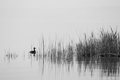 behind the reed (renatecamin) Tags: ente wasser schilf reed duck water silhuette