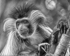 20190529-COLOBUS MONKEY -- BRONX ZOO_D85_1052 (Bonnie Forman-Franco) Tags: bronxzoo bronx monkey angolancolobusmonkey cagedwildlife cagedanimals colobusmonkey gorilla congo photographybywomen photoladybon nikon nikonphotography nikond850 nikon80400 newyorklandmark animalphotographer zoo zoophotography zoophotographer zoophotos bw blackandwhite blackandwhitephotography nik niksoftware nonhdr longislandphotographer wildlifephotographer wildlifephotography greatphotographers greaterphotographers