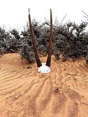 Gemsbok horns at our campsite about 150km south of the Kunene River mouth