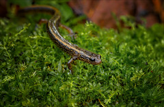 Quicksilver (Kathy Macpherson Baca) Tags: salamander amphibian twolined moss moist shy world two forest streams tadpoles earth sensitive planet