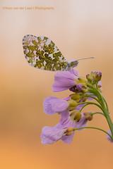 Oranjetipje (yvonvanderlaanfotografie) Tags: oranjetipje vlinder