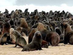 Seal colony at Cape Frio