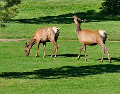 A Couple of Female Elk (Colorado Sands) Tags: female elk wildlife animal wildanimals evergreen colorado jeffersoncounty sandraleidholdt springtime grass elkcow cervuscanadensis wapiti