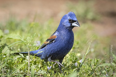 Blue Grosbeak,  mature male (karenmelody) Tags: animal animals bird birds bluegrosbeak cardinalidae hidalgocounty lagunasecaranch passeriformes passerinacaerulea southtexas texas usa vertebrate vertebrates passerine passerines perchingbirds edinburg unitedstatesofamerica
