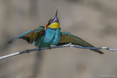 Merops apiaster. (Ciminus) Tags: nikond500 afsnikkor500mmf4gedvrii naturesubjects aves ornitologia ornitology nature ciminus birds oiseaux wildlife ciminodelbufalo uccelli gruccione meropsapiaster