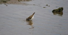Little Ringed Plover having a drink at Titchwell Marsh (AndyBC1) Tags: bird beautiful canon titchwell marsh summer sigma water interesting