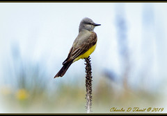 Western Kingbird (ctofcsco) Tags: 11600 20x 2x 600mm 7d 7dclassic 7dmark1 7dmarki canon explore geo:lat=3888043862 geo:lon=10478760537 geotagged image landscape nature papeton colorado coloradosprings didnotfire digital ef2x ef2xii ef300mmf28lisusm20x eos eos7d esplora explored extender f56 flashoff iso250 partial photo pic pretty renown shutterspeedpriorityae supertelephoto teleconverter telephoto unitedstates usa flycatcher wildlife bird