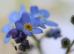 Myosostis (minuitmoinsdeux) Tags: garden flower fleur flora nature canon eos 7d 100mm macro is usm myosotis