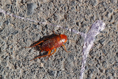 Los Abrigos, Tenerife, Canary Islands (wildhareuk) Tags: canon insect spain village tenerife tamron canaryislands cockroach losabrigos canoneos500d tamron18270mm tenerife2019 img9511dxo index
