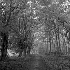 300519-002 (salparadise666) Tags: rolleiflex sl66 fomapan 100 boxspeed caffenol rs nils volkmer 6x6 square medium format slr wood forest velber hannover region trees morning light contrast film analogue monochrome germany bw black white