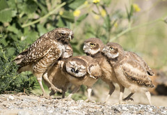 Gotcha ! (Sandrine Biziaux-Scherson) Tags: bird biziaux burrowing owl california chicks chick owlet feeding bugs nature wildlife wild sandrine scherson nest