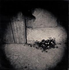 Les ruines (Troisième type) Tags: lelabodutroisieme wetplate collodion végétal fleurs square boyer saphir 95mm 12x12
