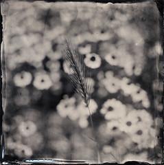 / (Troisième type) Tags: lelabodutroisieme wetplate collodion végétal fleurs square boyer saphir 95mm 12x12