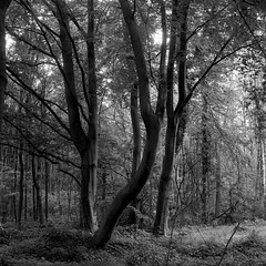 300519-003 (salparadise666) Tags: rolleiflex sl66 fomapan 100 boxspeed caffenol rs nils volkmer 6x6 square medium format slr wood forest velber hannover region trees morning light contrast film analogue monochrome germany bw black white
