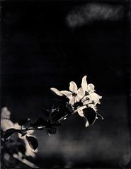 Les pommes (Troisième type) Tags: lelabodutroisieme wetplate collodion végétal fleurs busch pressman 4x5