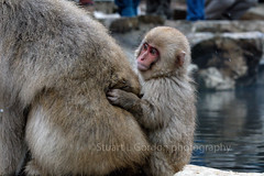 Is It Safe Yet? 3 (chasingthelight10) Tags: events photography travel places japan yudanaka things snowmacaques snowmonkeys otherkeywords hotsprings snowmonkeypark