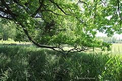 Mönchbruch 2019 100 (60386pixel) Tags: mönchbruch naturschutzgebietmönchbruch naturschutzgebiet natur hessen sommer