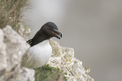 Razorbill (cazalegg) Tags: razorbill auk bempton cliffs yorkshire nikon d500 nature birds wildlife water sea