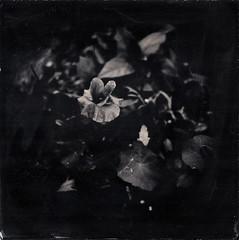 Capucines et coquelicot (Troisième type) Tags: lelabodutroisieme wetplate collodion végétal fleurs square boyer saphir 95mm 12x12