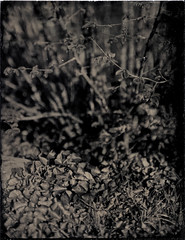 Violettes et noisettes (Troisième type) Tags: lelabodutroisieme wetplate collodion végétal fleurs busch pressman 4x5