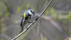 Yellow-rumped Warbler   0674 (Paul McGoveran) Tags: bird nature nikon500mmf4 nikond850 ontario peleenationalpark warbler