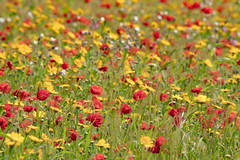 Wild Poppies (tonyayers) Tags: flowers poppy poppies cornwall kernow thegreatoutdoors magicmoment naturesbeauty grass field wildflowers red yellow coastalwalk flower meadow