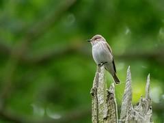 Spotted Flycatcher (kc02photos) Tags: spottedflycatcher muscicapastriata bradfieldwoods suffolk england uk birdphotography