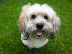 The Happiest Dog On Earth (PEEJ0E) Tags: pup boy cute rescue mutt dog happy smile maltese rusty