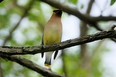 Cedar Waxwing (Eric E Haas) Tags: lens sony70300mmgii animals birds bombycillacedrorum cedarwaxwing passeriformes waxwings stevensville maryland unitedstatesofamerica
