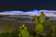 Cuddy As a Cactus (slworking2) Tags: delmar california unitedstatesofamerica cactus ocean coast pacific blue bioluminescent bioluminescence redtide sandiego