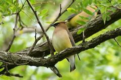 Cedar Waxwing (Eric E Haas) Tags: stevensville maryland unitedstatesofamerica lens sony70300mmgii animals birds bombycillacedrorum cedarwaxwing passeriformes waxwings