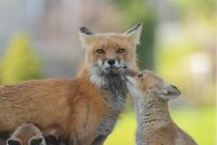 Red Foxes (Rob E Twoo) Tags: naturaleza explore ontario canada nature wildlife fox