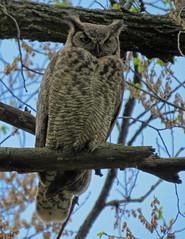 IMG_2795-copy-1 (lbj.birds) Tags: kansas nature flinthills wildlife bird owl greathornedowl
