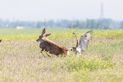 Deer versus ferruginous hawk - 5 of 8