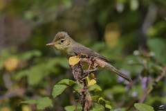 Melodious Warbler - Felosa-poliglota (anpena) Tags: birds birdphotography passerines warblers melodiouswarbler