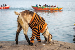 Winter in Varanasi (shapeshift) Tags: in animals asia banaras banares benaras boats cityanimals davidpham davidphamsf documentary ganges gangesriver ghat ghats ghatsofindia goat india nikon people riverfront riverside shapeshift southasia streetphotography travel urbananimals uttarpradesh varanasi vendor