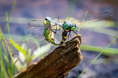 Eastern Pondhawks (tresed47) Tags: 2019 201905may 20190529springtonmanormacro birds canon7dmkii chestercounty content dragonflies easternpondhawk folder insects macro may pennsylvania peterscamera petersphotos places season spring springtonmanor takenby technical us