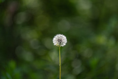 A dandelion puff against the greens of spring (Beth Rizzo) Tags: bokeh bokehphotography dandelion plants flowers nature naturallightphotography naturephotography bokehphoto plant leaf natural puffball dandelionpuff spring