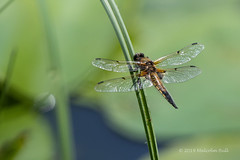 4 Spotted Chaser - Woods Mill (037) (Malcolm Bull) Tags: 20190601woodsmill0037edited1web include woods mill nature reserve four 4 spotted chaser dragonfly