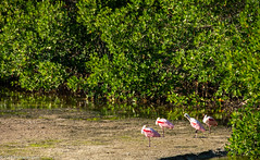 Loafing Spoonbills (Jim Frazier) Tags: 201801floridatrip 2019 animals aves biota birding birds birdwatching dingdarlingnationalwildliferefuge fauna fl flat flora florida foliage green january jimfraziercom landscape lateafternoon lateafternoonlight leaf leaves life living loaf loafing mud mudflat nationalwildliferefuge natural nature nwf pink plants preserve q3 rest resting roadtrip roseatespoonbills ruleofthirds sanibel scenery scenic snapshot sunny tidalflat toexporttoflickr vacation wetland wildlife winter f10