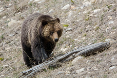 Step by step (ChicagoBob46) Tags: grizz grizzly grizzlybear bear sow yellowstone yellowstonenationalpark nature wildlife coth5 ngc naturethroughthelens npc