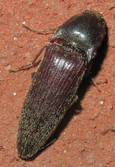 Click Beetle, Melanotus sp., Washington Crossing (Seth Ausubel) Tags: elateridae coleoptera elaterinae