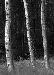 Three tree trunks (8226) ((8_8)) Tags: trees treeline tree blackandwhite blackwhite nature sonya7ii sonyfe70200mmf28gmoss sony quabbin quabbinreservoir