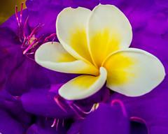 Enthusiasm (risaclics) Tags: make me smile 60mmmacro frangiapani may2019 nikond610d blossom flora flowers orchid purple yellow makemesmile