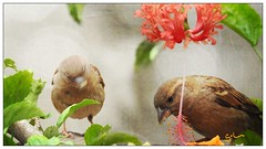 Pardal - House Sparrow (sileneandrade10) Tags: sileneandrade pardal housesparrow passerdomesticus photoedition photoart photoediting photocollage textura playphoto nikoncoolpixp900 nikon hibiscus alimento hibisco jardim mygarden