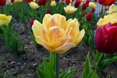 Panasonic FZ1000, Tulips, Botanical Gardens, Montréal, 20 May 2019 (48) (proacguy1) Tags: panasonicfz1000 tulips botanicalgardens montréal 20may2019