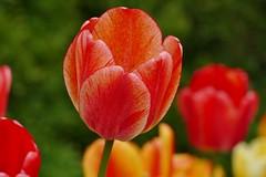 Panasonic FZ1000, Tulips, Botanical Gardens, Montréal, 20 May 2019 (17) (proacguy1) Tags: panasonicfz1000 tulips botanicalgardens montréal 20may2019